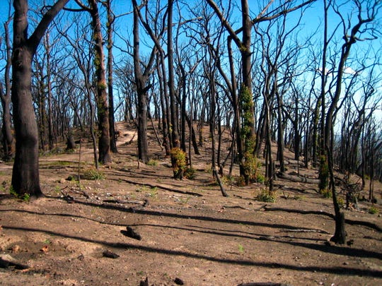 This 2009 photo provided by Sebastian Pfautsch shows a eucalyptus forest that burned during a 2009 wildfire in Victoria, Australia.