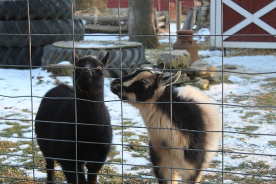 Nigerian dwarf goats Betty and Dilly brave the cold Monday at Creek Bend Farm. The Sandusky County Park District will be hosting its annual Winterfest Saturday from 1 to 3 p.m. at the Creek Bend Farm Wilson Nature Center in Lindsey. There will be indoor activities, according to the park district.