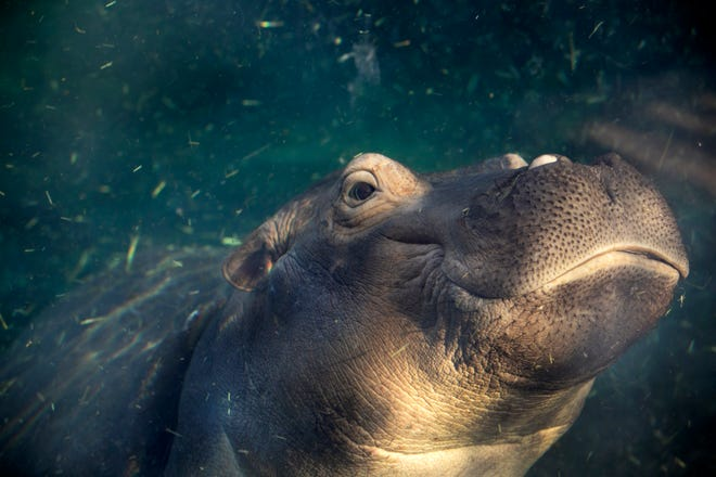 Fiona, Cincinnati's famous hippo turns three on January 24, 2020. You can find Fiona and mom, Bibbi in Hippo Cove. Born two months premature, Fiona weighed only 29 lbs. and was cared for by Cincinnati Zoo and Botanical Garden handlers. Today, she's thriving and weighs 1,248 lbs. Mom weighs 3,500 lbs! Photographed Jan. 13, 2020.