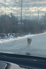 Kensington, N.H., police warned residents Monday of an aggressive coyote. They believe it was responsible for three attacks before being killed.