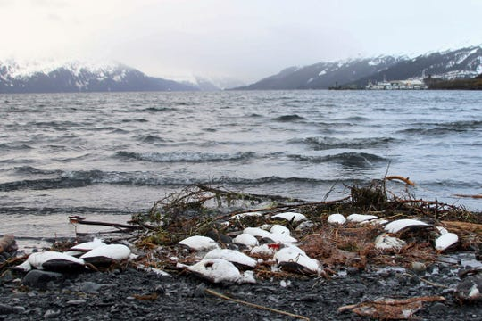 Dead common murres lie washed up on a rocky beach Jan. 7, 2016, in Whittier, Alaska.