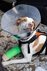 A puppy found by police after evidently being thrown from an Alcoa Highway overpass last week has been released following surgery at the University of Tennessee Veterinary Medical Center.
