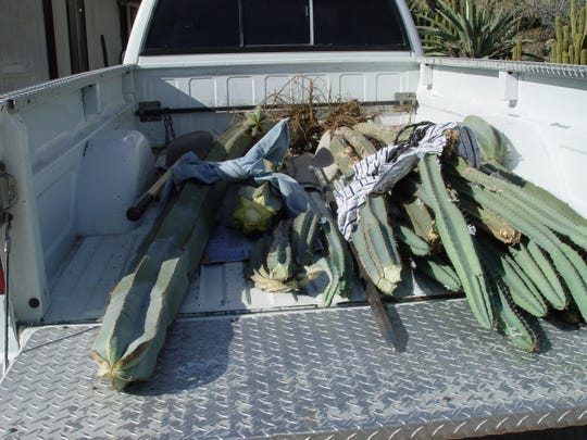 A fence post cactus removed when heavy with water must be totally supported or it will break like a cucumber.
