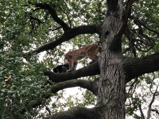 Mountain biker Landon Wright snapped photos of this female mountain lion who attacked a small boy, then ran high up a live oak tree with the boy's father's backpack at Whiting Ranch Wilderness Park.