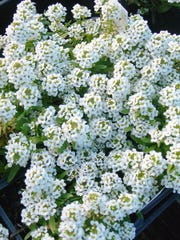 Alyssum is one of the easiest bedding plants to grow and is often overlooked in the Treasure Coast gardens. Plant it in the fall and winter for long lasting, sweetly fragrant flowers.
