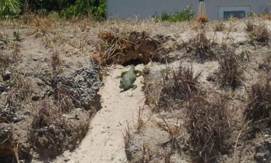 An iguana leaving a burrow in a canal bank managed by the South Florida Water Management District in Broward County.