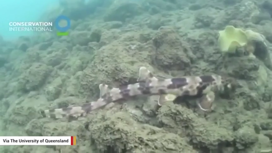 Walking sharks discovered near Australia but there's no need to head for the hills