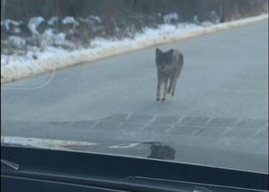 A coyote spotted in Kensington, New Hampshire, by a motorist attacked a woman walking with her dogs and a family hiking Monday morning, according to police.