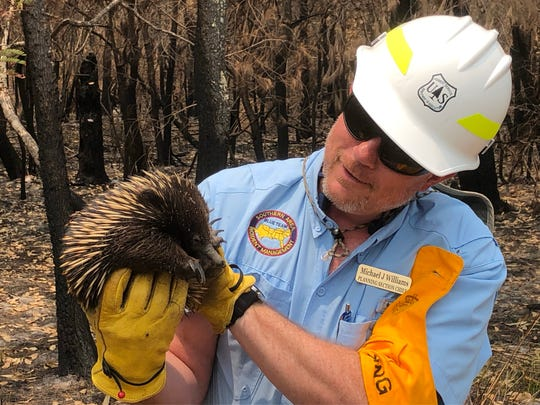 Michael Williams, a firefighter with the Nantahala National Forest, holds an echidna while on assignment as a planning section chief helping to battle Australia's bushfires.