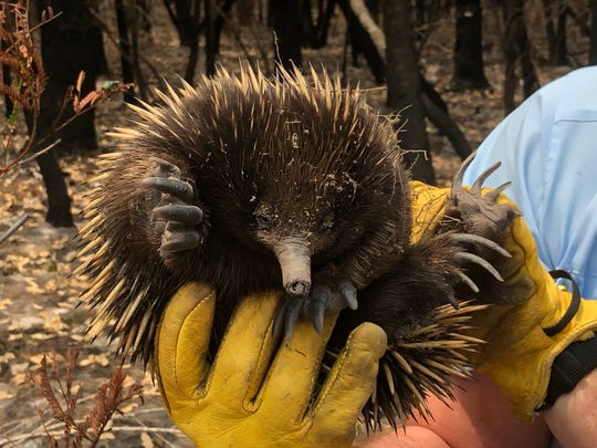 Michael Williams, a U.S. Forest Service firefighter from Murphy, holds an echidna in Australia. Echidnas are porcupine-like, egg-laying mammals native to Australia. About a half-billion wildlife have been killed in Australia's historic bushfires.