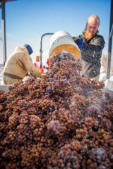 Workers unload buckets of frozen riesling at Chateau Grand Traverse.