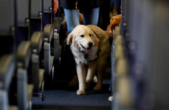 FILE - In this April 1, 2017 file photo, a service dog strolls through the isle inside a United Airlines plane at Newark Liberty International Airport while taking part in a training exercise in Newark, N.J.