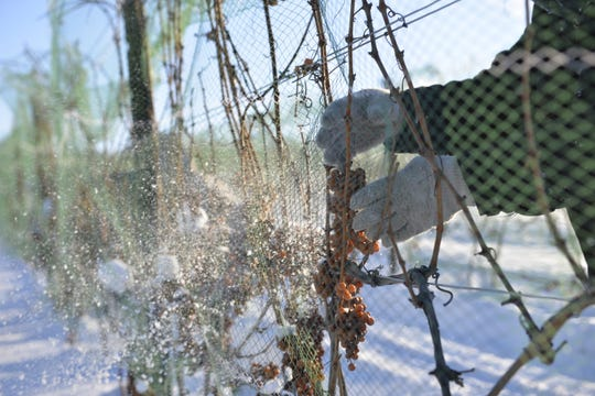 Plucking grapes for ice wine depends on the temperature.