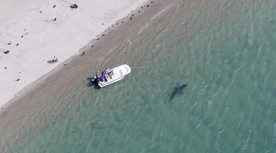 A great white shark swims close to the Cape Cod shore in Chatham, Mass.