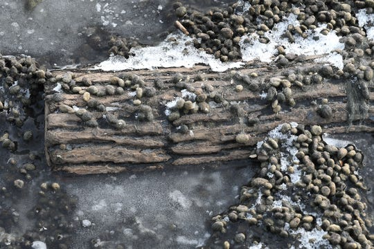 They look like tiny rocks from a distance, but in Harrison Township, the shoreline along the boat launch at the Clinton River Cut Off is covered in hairy, pebble-like debris that when smashed has a green and black felty interior.