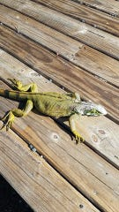 """Cape Coral wildlife trapper Chris Harlow calls this critter he found Wednesday morning on  Sanibel an """"iguana Popsicle.""""  Low temperatures can stun or even kill the cold-blooded invasive reptiles."""