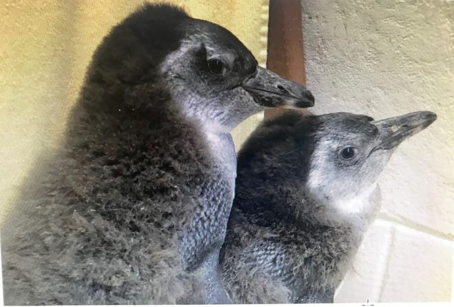 The two penguin chicks born in November at NEW Zoo & Adventure Park are ready for their names.