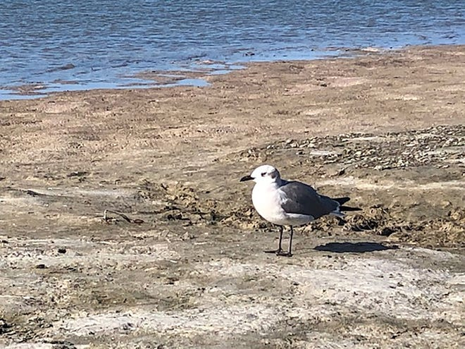A laughing gull.