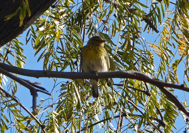 The famed Cape May warbler of Las Cruces' Tellbrook Park pauses in a mesquite in January 2020.