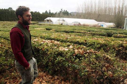 Chris Jenkins, of Minto Island Growers, looks at a half-acre of camellia sinensis, which the farm harvests and then is processed into tea.