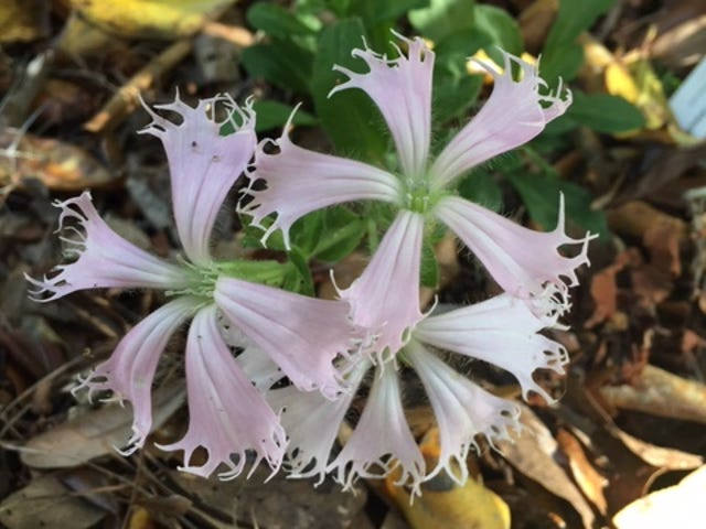 Fringed campion is a rare native plant on the federal endangered species.