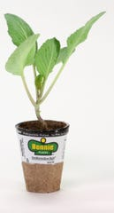 A cabbage seedling like the one Keric Roach received for the National Bonnie Plants Cabbage Porgram.