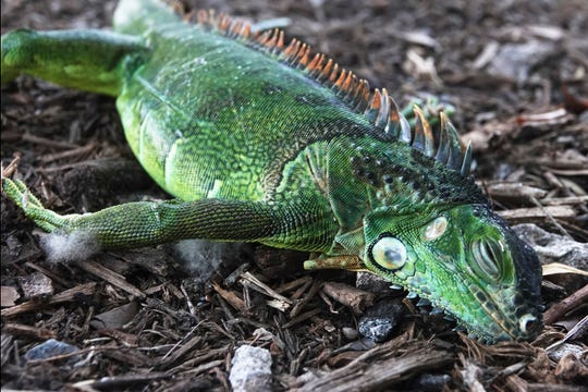 A stunned iguana lies in the grass at Cherry Creek Park in Oakland Park, Florida. The National Weather Service Miami said residents shouldn't be surprised if they see iguanas falling from trees as lows drop into the 30s and 40s. Jan. 22, 2020