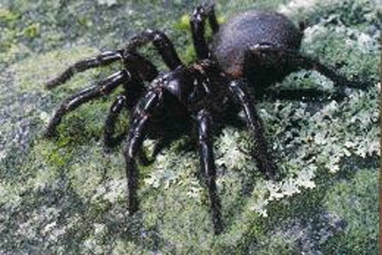 A bite from the Australian funnel web spider can be deadly.