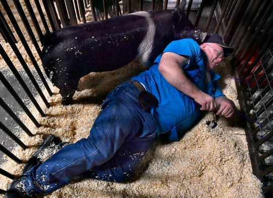 Robert Herrera gets a little nuzzling from his daughter Valerie's Hampshire pig, Brutus, while tying a steel grate to the pen's door Thursday at the Taylor County Expo Center. Valerie, 16 and a student at Wylie High School, will be competing in Friday's swine contest at the Taylor County Livestock Show. It begins at 8 a.m. Local 4-H and FFA members compete in steers, heifer, lamb, swine, goat, rabbit and poultry shows.