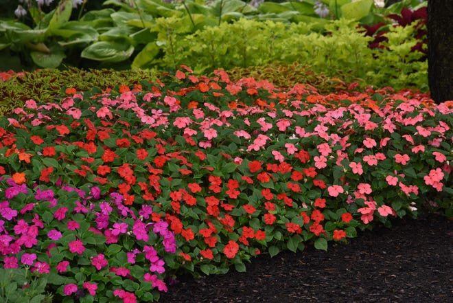 Beacon Mix Impatiens have been bred to resist the downy mildew that has kept impatiens out of Michigan gardens for several years.
