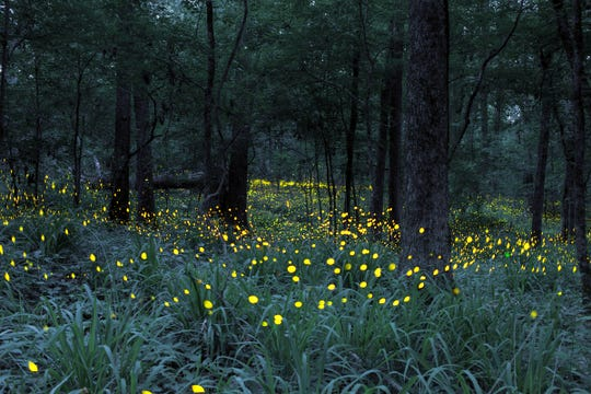 For a few short weeks in early summer, when North American forests are warm and humid, millions of fireflies take to the air to attract a mate. The males of some species, like this one in Mississippi, flash in synchrony to amplify their message.
