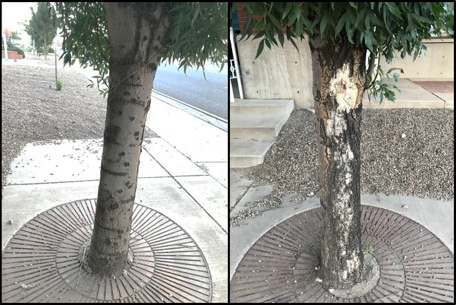 Besides being girdled and slowly killed by hardscape at the base, this ash tree in Belen looks normal on the northeast side of the trunk, left, and severely wounded on the southwest side, right, due to sunscald (aka southwest injury). Temporary trunk protection, like a loose-fitting paper wrap, could have prevented this damage when the tree was younger and the bark was thinner.