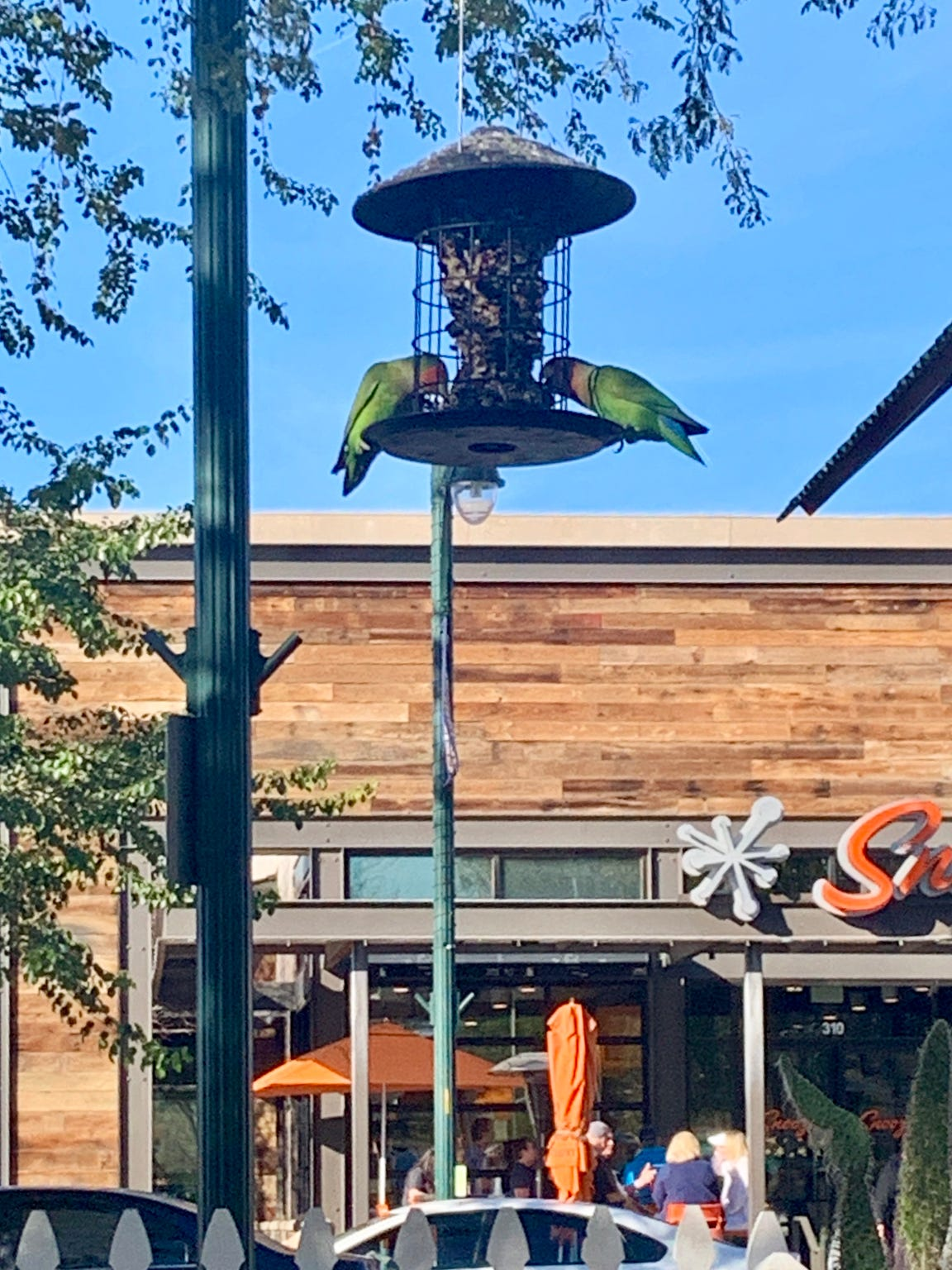 Rosy-faced lovebirds eating at Bergies Coffee Roast House in downtown Gilbert, Arizona.