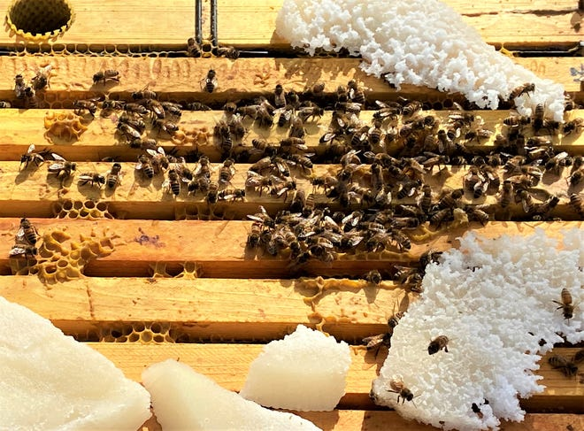 Bees feed on a sugar product placed in a hive by Debbie Gilmore.
