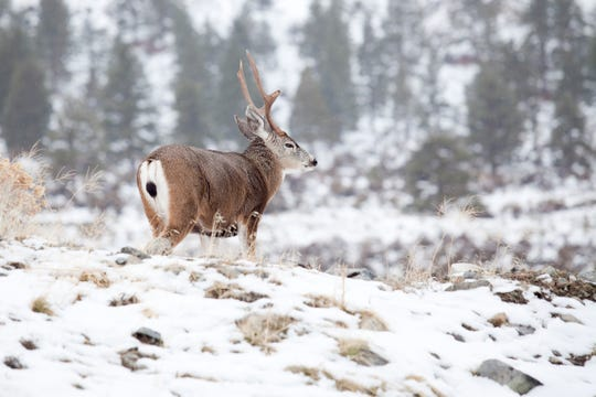 A wild mule deer at the base of the Sierra Nevada.
