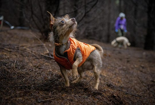 Gustave peers up at Marcy Tippmann during a pause in their truffle-hunting excursion. In 2018, Gustave won the Joriad North American Truffle Dog Championship in Eugene.