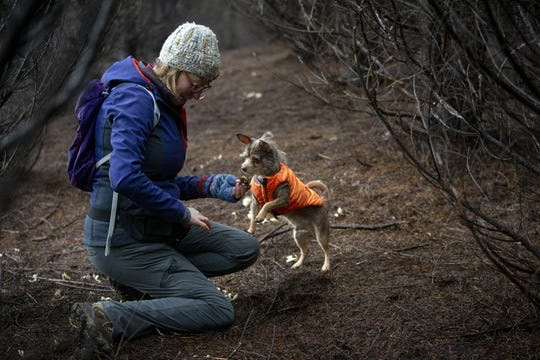 Marcy Tippmann holds a truffle uncovered by her dog, Gustave, in a forest south of Eugene. Gustave gets a treat as a reward for finding the truffles to reinforce his good efforts.