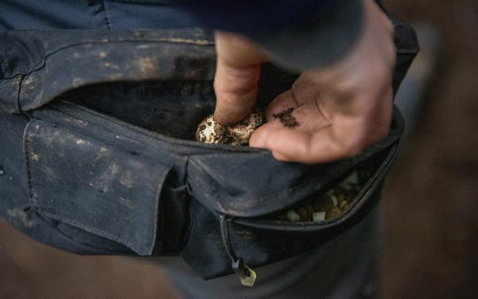 Tippmann puts a white truffle into her collection bag. The season for truffle hunting is October through March. The latin name for the truffle, Tuber oregonense, acknowledges its Oregon origin.