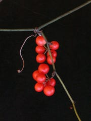 The berries of coral catbrier are eaten by wildlife and waterfowl.