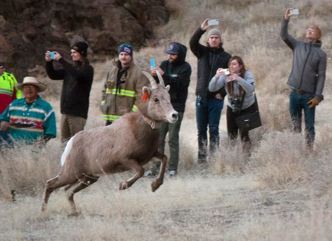 In this Monday, Jan. 13, 2019 photo, the Nevada Department of Wildlife and Pyramid Lake Paiute Tribe released about 20 bighorn sheep into the Pyramid Lake Range in western Nevada, in an effort to revive the sheep population in the area. The sheep are believed to be the first of their species in the area in nearly 100 years.