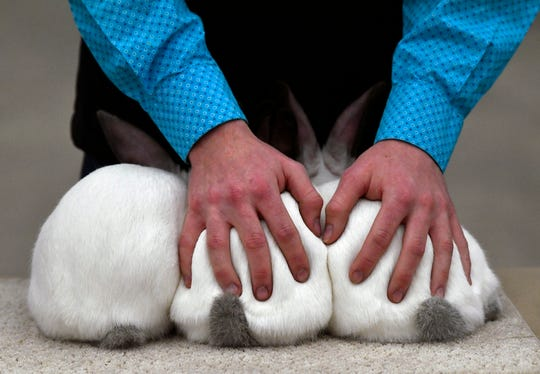 Wylie High School senior Coltyn Cook strokes his rabbits to calm and keep them from moving about during Thursday's rabbit show at the Taylor County Livestock Show.