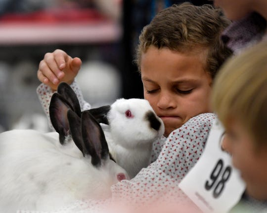 Colton White, a 4th grade student at Lawn Elementary School, looks at one of his three rabbits after it and another poked their heads up. Colton was competing with other students in the rabbit show at the Taylor County Livestock Show at the Taylor County Expo Center on Thursday.