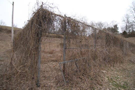Kudzu completely covers the chain link fence that once housed tennis courts at the former Marshall rec park site.