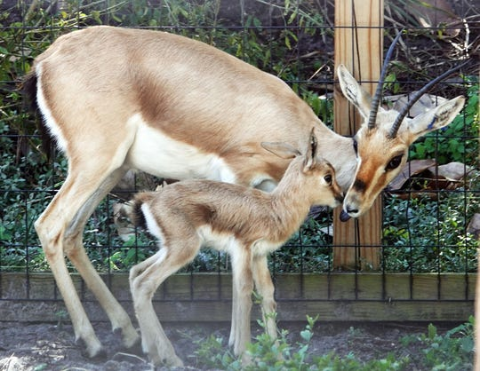 The Naples Zoo has announced its first birth of the year: a slender-horned gazelle.