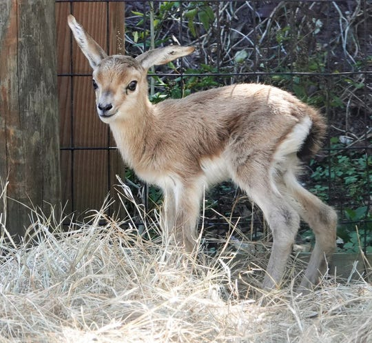 The Naples Zoo announced Friday that its first animal birth of the new year arrived Wednesday. It's a critically endangered slender-horned gazelle born to Clover.