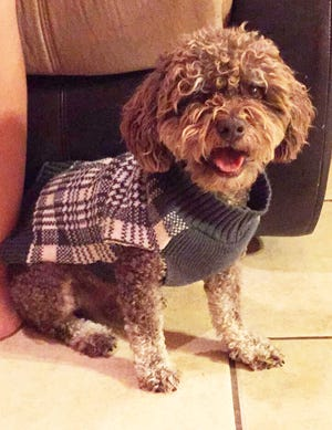 Tommy, a poodle owned by the Arras family was killed in its yard in the Legends West subdivision on Monday, Jan. 20, 2020, in an apparent pitbull attack.