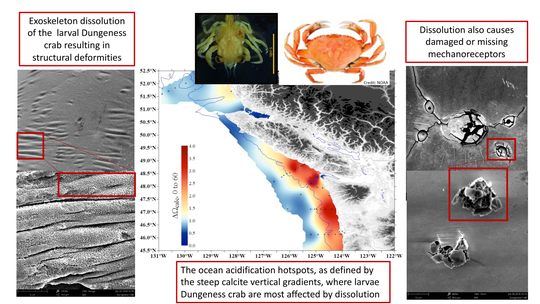 This infographic shows the location of larval Dungeness crab sampling in 2016, examples of impacts from ocean acidification, as well as photos of a larval (left) and adult (right) crab.