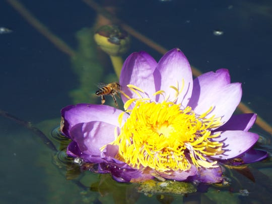 A bee buzzes around a water lily in the International Waterlily Garden in early January.