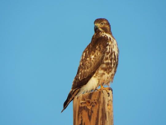 A hawk keeps an eye on the photographer in early January.