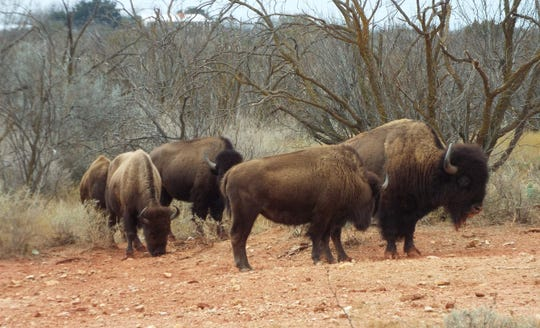 The bison herd at San Angelo State Park in early January.